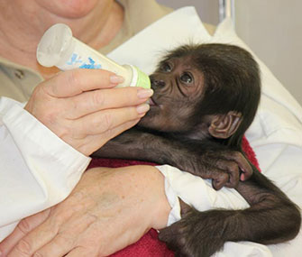 The 3-week-old gorilla will be moved from Texas to the Cincinnati Zoo.