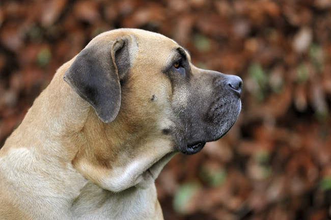 boerboel dog breed information. Black Bedroom Furniture Sets. Home Design Ideas