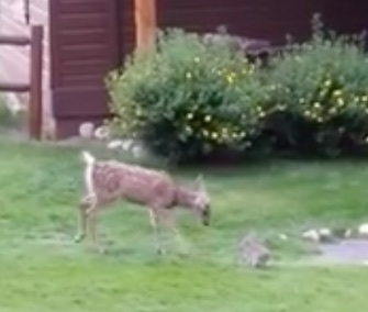 A fawn and bunny had an adorable playdate that was caught on video in Colorado.