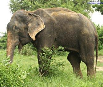 Raju the elephant freed
