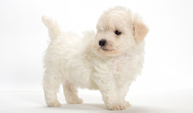 Bichon Frise Dog Breed Information