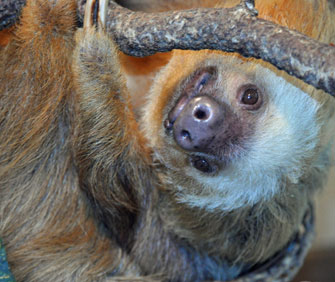 Harry the Sloth at Busch Gardens Tampa Bay