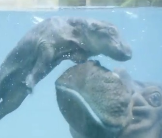 A newborn hippo learns to swim with a little help from mom at the San Diego Zoo.