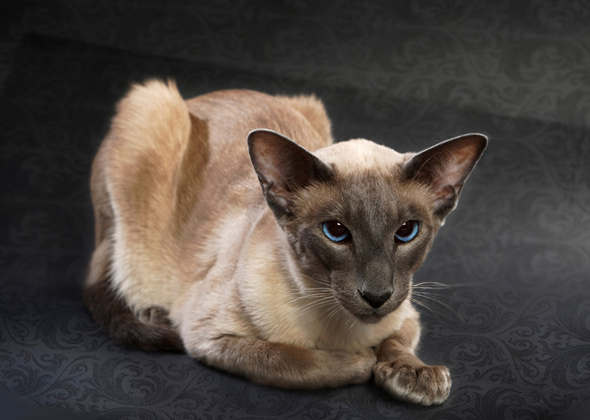 Balinese, a cat breed you've probably never heard of