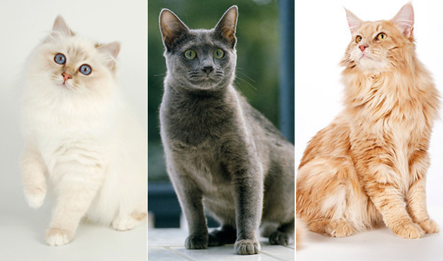 Pedigreed Cat Breeds - Birman, Russian Blue, Maine Coon