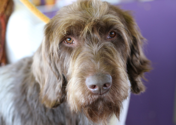 Westminster Amstel the Wirehaired Pointing Griffon