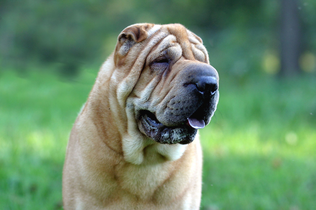 Chinese Shar Pei — Hopelessly Devoted Doter