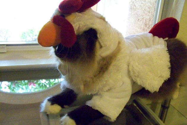 2. Cat Dressed as Chicken