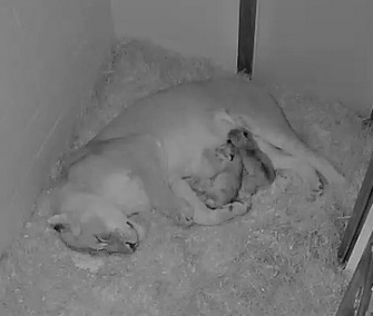 The two lion cubs born at the National Zoo on Friday curl up next to their mom.