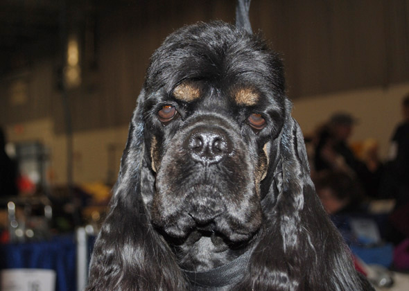 Cocker Spaniel at the National Dog Show