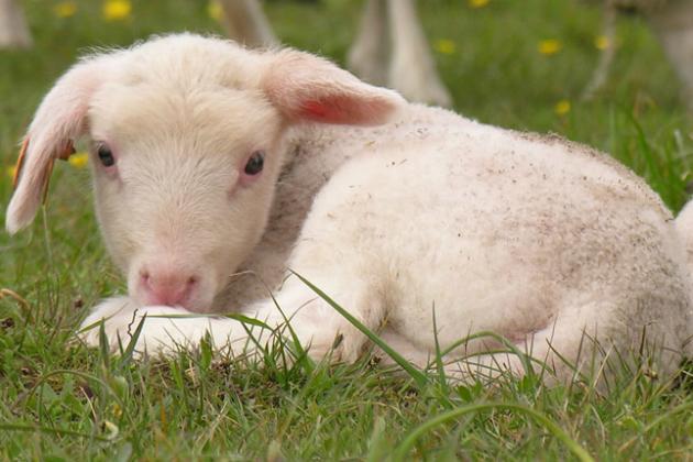 East Friesian ewe-lamb