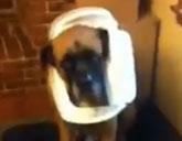 English Mastiff with a trash can on its head