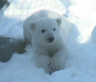 The Toronto Zoo's 3-month-old polar bear cub made his public debut over the weekend.