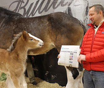 The general manager of Budweiser's Clydesdale operations shows baby Hope a headline about her popular commercial.