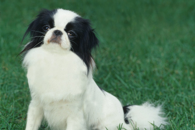 Japanese Chin: Loves To Entertain Family