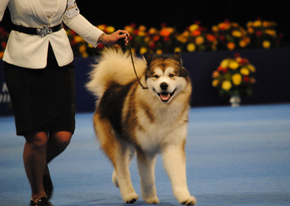 National Dog Show Alaskan Malamute