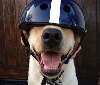 Henry, a Lab from San Diego, is among the 12 pets nominated for the VPI Hambone Award.