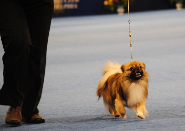 National Dog Show Tibetan Spaniel