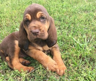 Bloodhound puppy CJ is starting her training with the Fairfax County Police Department.