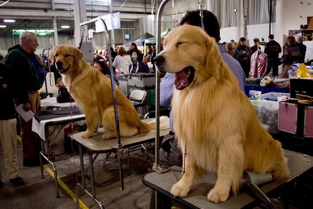 Golden Retrievers at the National Dog Show