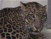 Jaguar at Columbus Zoo