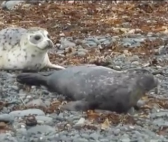 Harbor seals Lyra, Dipper and Draco were released on an Alaska beach earlier this month.