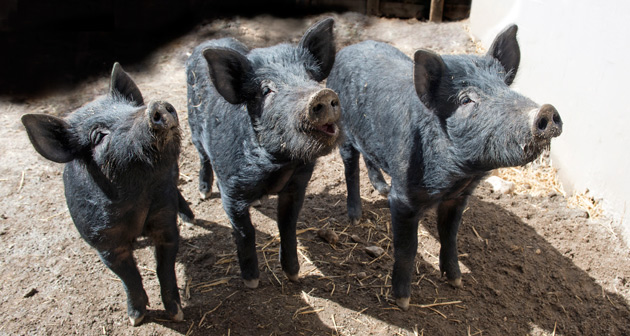 Mulefoot Hogs at Queens Zoo