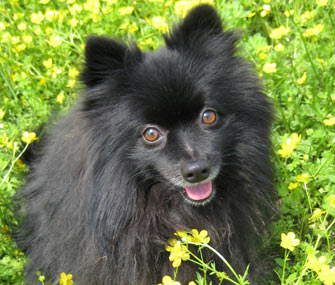 Elvis the rescued Pomeranian