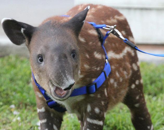 Baby Tapir Calf
