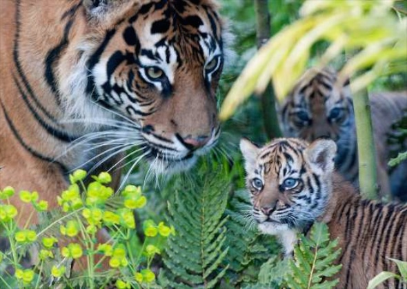 Three Sumatran tiger cubs were born to mom Melati at the ZSL London Zoo on Feb. 3. They ventured outside for the first time when they were 7 weeks old.