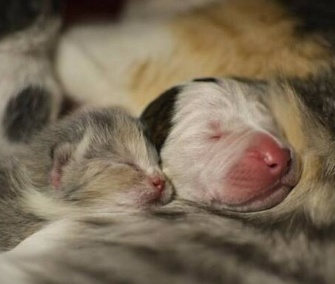 Noland, a Pit Bull puppy, snuggles up to his feline mom with one of his littermates.