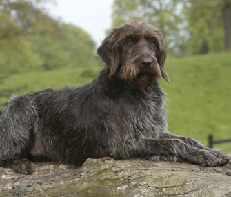 Wirehaired Pointing Griffon lying in the woods