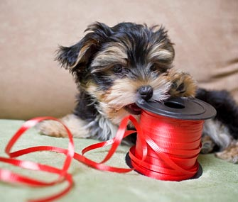 Puppy chewing red ribbon
