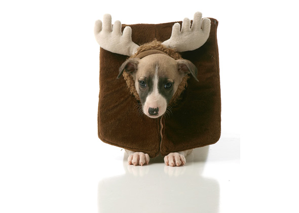 Whippet puppy dressed up as reindeer