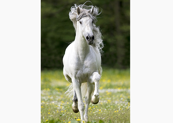 Spanish-breed Andalusian horse