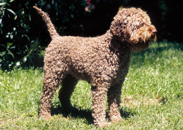 Lagotto Romagnolo Standing in Grass