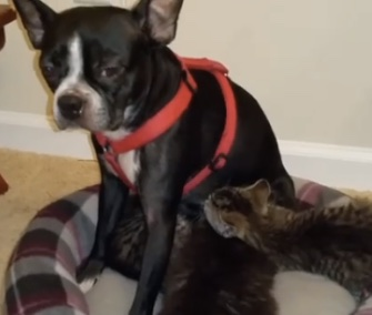 Memory, a Boston Terrier, adopted and nursed four orphaned kittens.