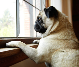 Pug staring out window