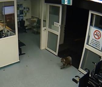 A wayward koala is captured on video as it wanders into an Australian hospital.
