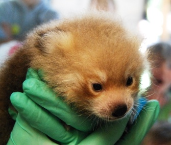 A male red panda cub is being hand reared at the Sacramento Zoo.