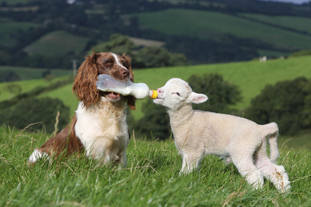 Dog bottle feeding lamb