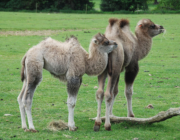 Camel babies at ZSL Whipsnade zoo