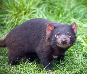Tasmanian devils threatened by cancer