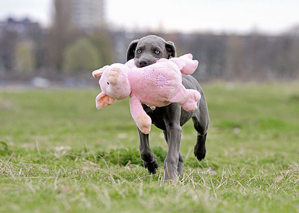 Dog with stuffed pig