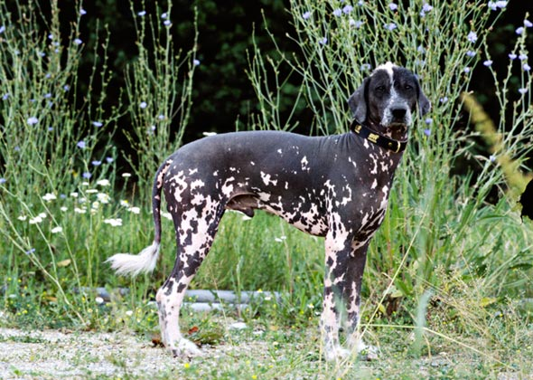 Peruvian Inca Orchid Dog Breed