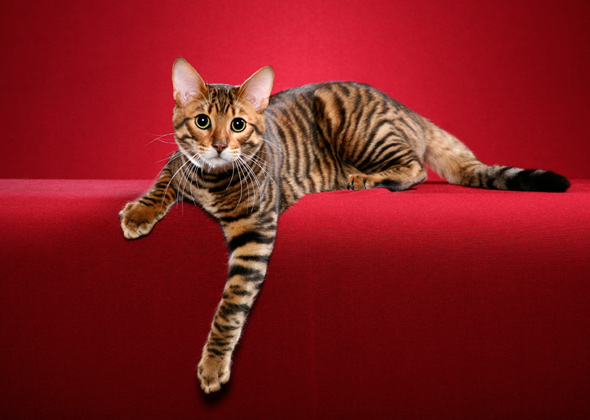 Toyger, a cat breed you've probably never heard of