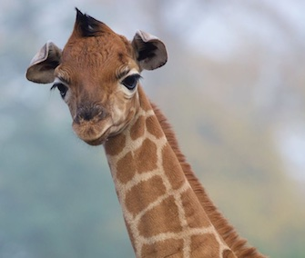 A male Rothschild giraffe was born at the Dublin Zoo last month.