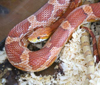 Corn snake in a cage
