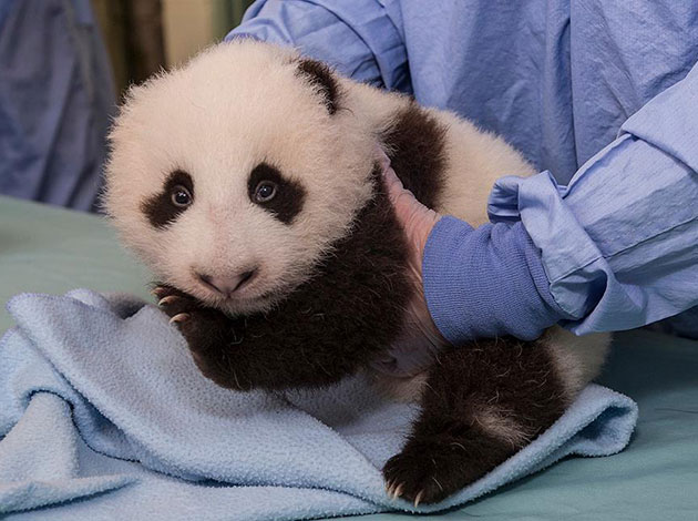 The San Diego Zoo's panda cub was wide-eyed at his 9-week exam.