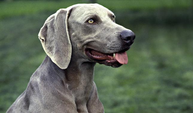 Blue Eyed Short Haired Dog Breed